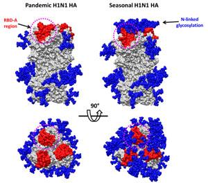 Comparación de la hemaglutinina de la gripe A (i) y de una gripe estacional (d). (Science)