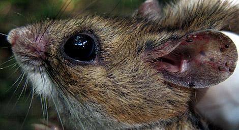 Un ratón con garrapatas infecciosas en la oreja. | Foto: J. Brunner