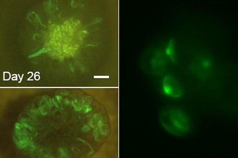 Los investigadores se ayudaron de una proteína fluorescente para ver sus avances.  Nature