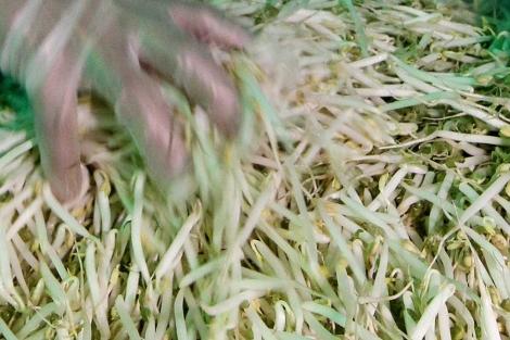 Brotes germinados, el origen de la infección.  Reuters