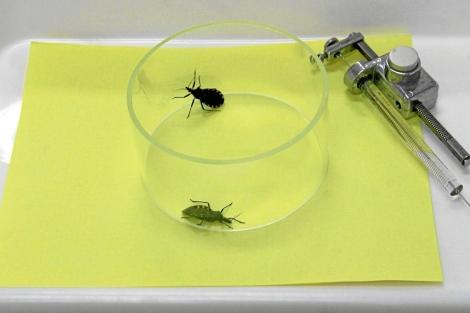 Insectos portadores del Chagas. | El Mundo
