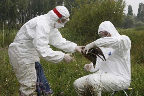 Dos operarios recogen un ave en el humedal de Salburúa.| El Mundo