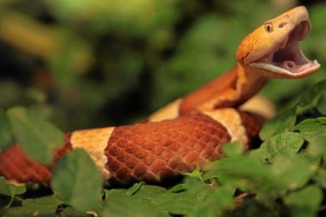 Serpiente mocasín. | El Mundo