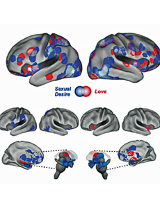 Imagen de las zonas del cerebro activas por el amor y por el deseo. | JSM