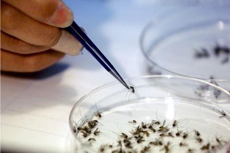 Un investigador analiza los mosquitos recogidos en Central Park, Nueva York. | Ap