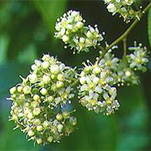 'Tripterygium wilfordii'.| EM