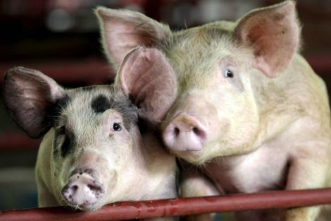 Los cerdos criados con antibióticos presentan resistencias a estos fármacos. | El Mundo