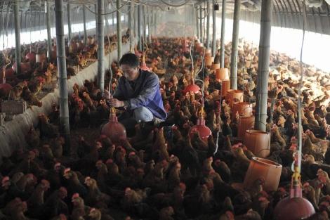 Un trabajador, en una granja de pollos en la provincia china de Anhui. | Reuters