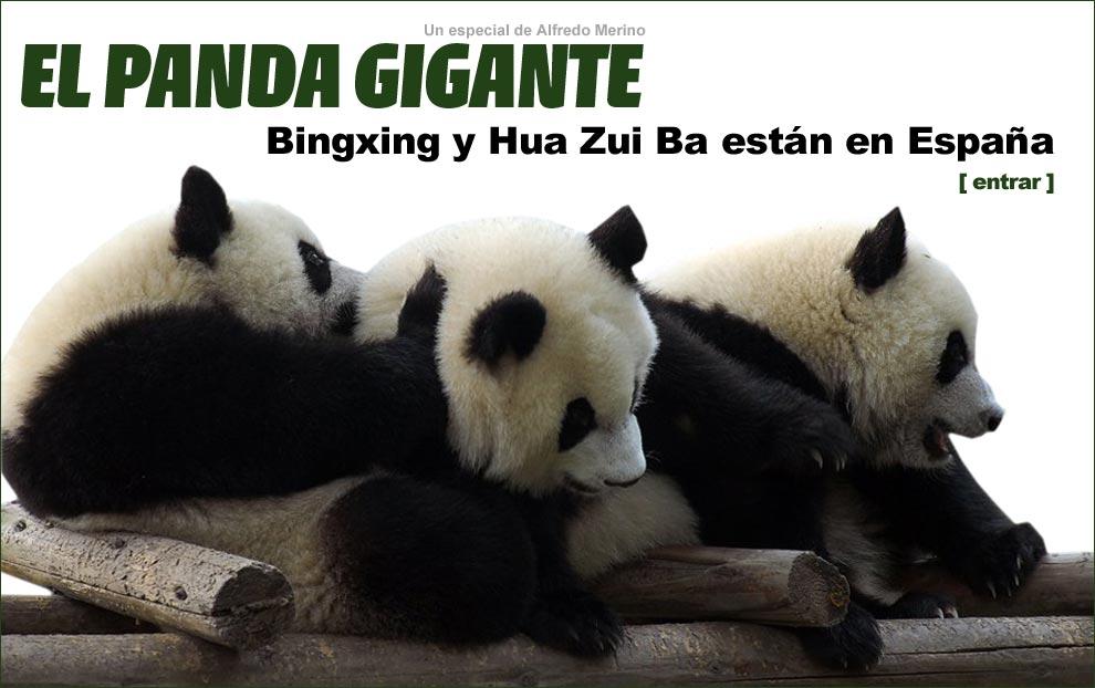 El panda gigante. Bingxing y Hua Zui Ba están en España