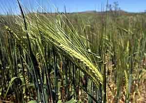 Un campo de cereales en Valladolid. (Foto: C. Espeso)
