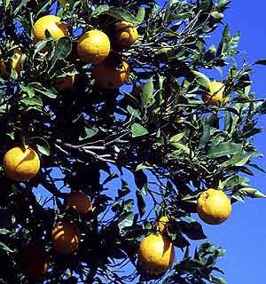 Un naranjo en un campo de Valencia. (Foto: J. L. Martínez)