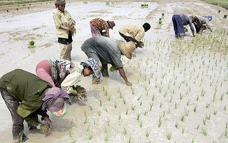 Plantación de arroz en Camboya, país que va a invertir 200 millones de dólares en más cultivos de este tipo. (Foto EFE)