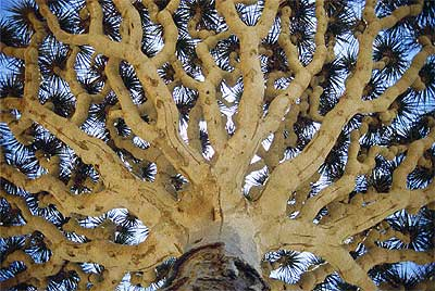 """Monumento prehistórico. Así luce la copa de un árbol sangre de dragón (""""Dracaena cinnabari""""), cuyas gigantescas ramas, que se extienden siguiendo el mismo patrón en forma de hongo o sombrilla, son características de los árboles prehistóricos. Es uno de los principales ejemplos del endemismo de las islas, el mayor de todo Oriente Medio: alrededor del 30% de sus 900 especies vegetales sólo se dan allí. El árbol sangre de dragón puede alcanzar los tres metros de altura."""