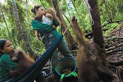 Instinto maternal. Karmele abraza a un bebé orangután de la reserva Nyaru Meteng, Borneo, donde cuidan a 400 primates.