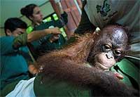 los cuidadores curan a Poony, un orangután hembra rescatado.