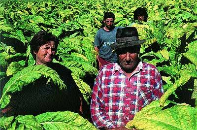 Una familia de Talayuela dedicada al cultivo del tabaco.