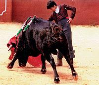 TORERO. Con 13 años, 1,72 de estatura y 52 kilos de peso, el cacereño Jairo Miguel se ha enfrentado ya a toros de más de 400 kilos.