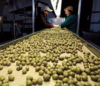 UN TESORO. En la cooperativa de Humilladero utilizan parte de la producción de aceitunas para hacer conservas en lata. / JESÚS DOMÍNGUEZ