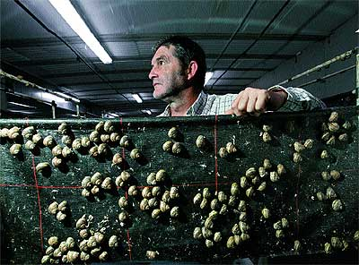 """En la """"maternidad"""". José Melero, 49 años, muestra los caracoles que cría en su granja de Egea de los Caballeros (Zaragoza)."""
