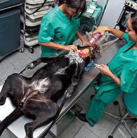Veterinarios de la clínica de Juan Tamarit en el quirófano de las amputaciones. / BENITO PAJARES