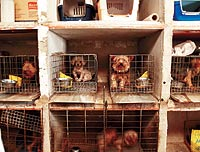 Granja de perros intervenida hace un mes en el Molar, (Madrid).