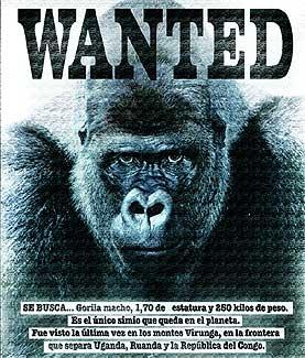 Ha muerto el último salvaje. Pesaba 250 kilos y medía 1,70 metros. Con él desparece el pariente más cercano del ser humano.