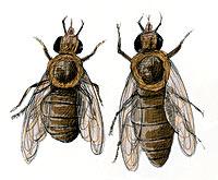 DIFERENCIAS: a la dcha., abeja libre de nosemosis. A la izqd., otra parasitada.