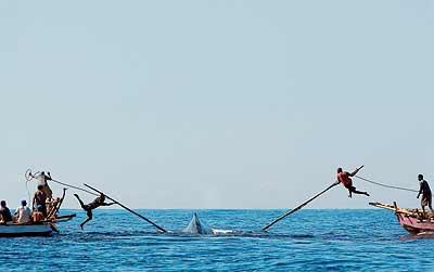 """PIE: """"Pertiguistas"""" . Contra un coloso. Desde dos barcas, los arponeros hieren de muerte al cetáceo en aguas de la isla indonesia de Lembata."""