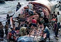 La descomunal anatomía del cachalote es descuartizada en pocas horas.