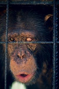 """PENSATIVO. Antes de llegar al centro de rehabilitación de primates maltratados, Guillermo vivió encerrado durante 13 años en una jaula en la Orotava (Tenerife). Su """"dueña"""" le consideraba una mascota familiar."""