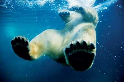 Feliz, pero amenazado: El oso polar, que reina en los parajes del Polo Norte, encarna la lucha contra el cambio climático. El hielo donde habita se funde, abocándole a una muerte inevitable por inanición