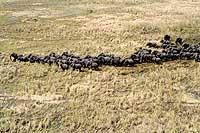 Ni la guerra ni los contrabandistas de marfil han extinguido a los elefantes de la zona.