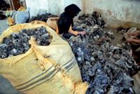 A mano. Separar el cachemir del pelo es laborioso. Los varones afganos no aceptan hacerlo por los ínfimos sueldos que se pagan.