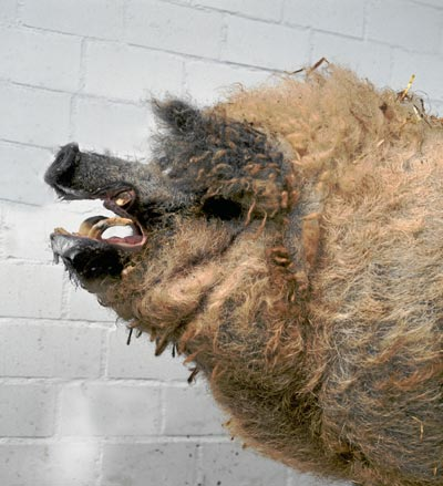 LANUDO. En invierno, el mangalica está cubierto de un pelo grueso que parece lana. En primavera cambia por unas cerdas ensortijadas.