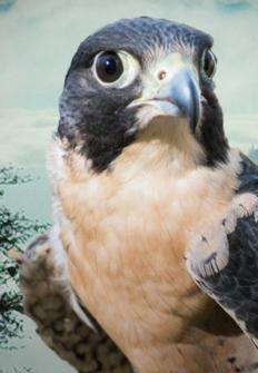 El halcón peregrino: amo de los cielos