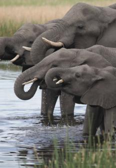 Casi humanos: la vida de los elefantes