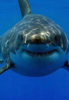 Tiburones. Los cinco grandes