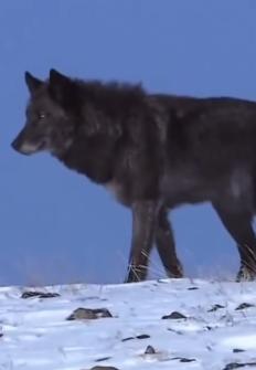 La llegada del lobo negro