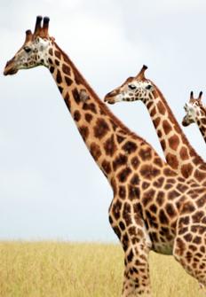La jirafa: el gigante africano
