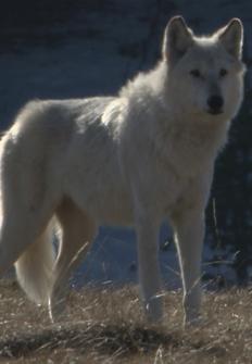 La loba blanca de la manada del valle de Hayden