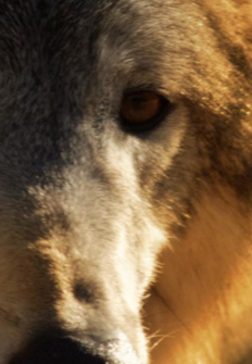 Wild Yellowstone: La loba
